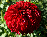 8 Inches of Dahlia